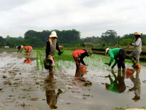 Agricultoras de arroz en Bali